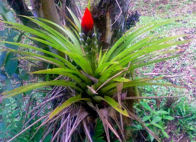 Цветок Гусмании monostachya