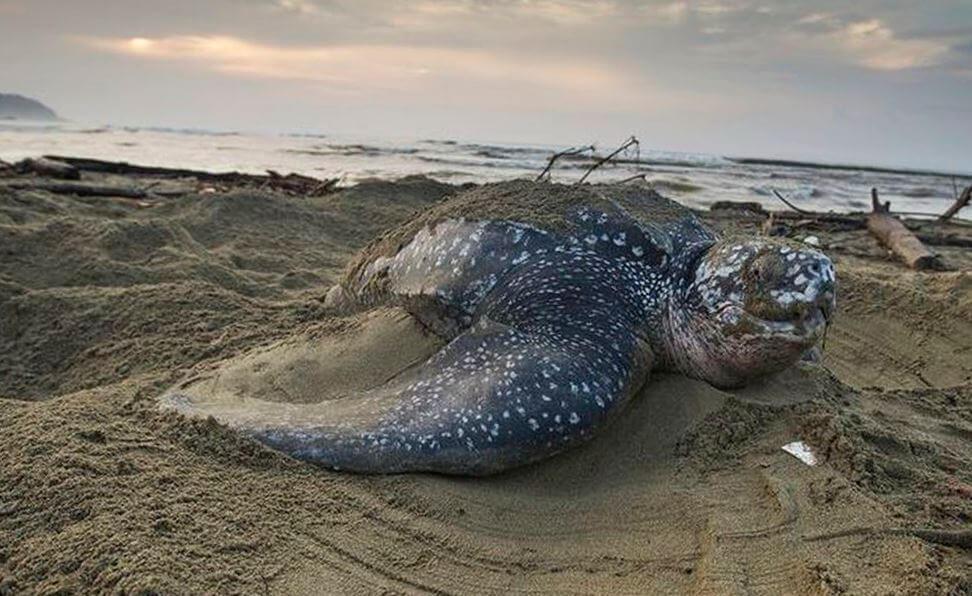 Фото черепахи кожистой на кладке