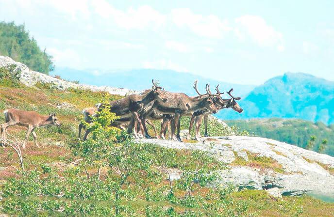 Мигртрующие олени северные