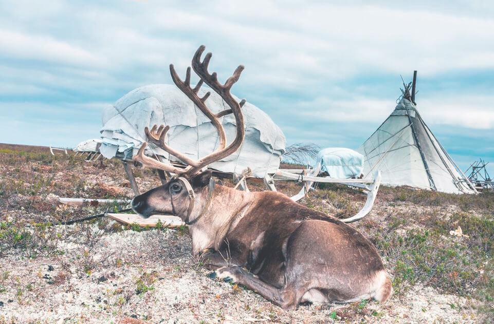 Одомашненный олень северный