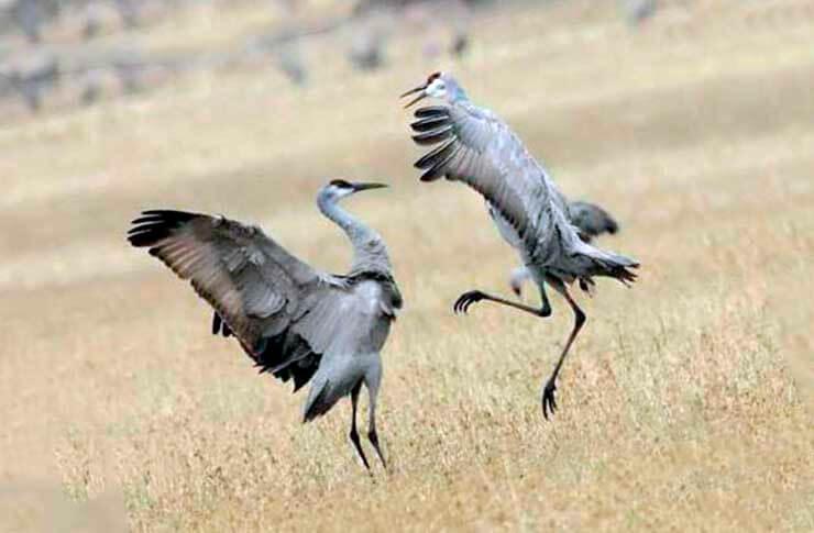 Танец серого журавля