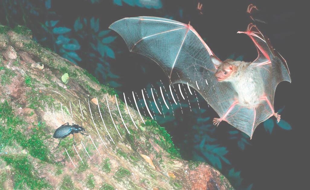 Ушан обыкновенный нашёл жука