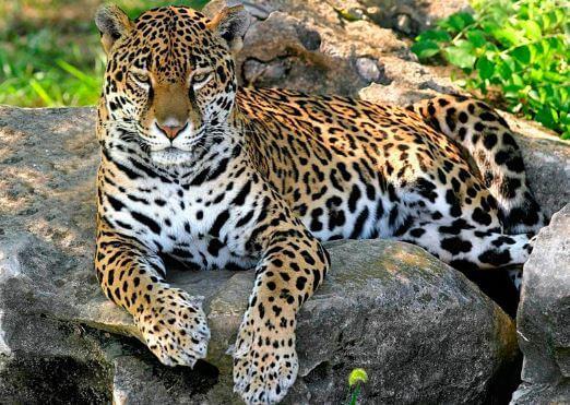 Спокойствие ягуара