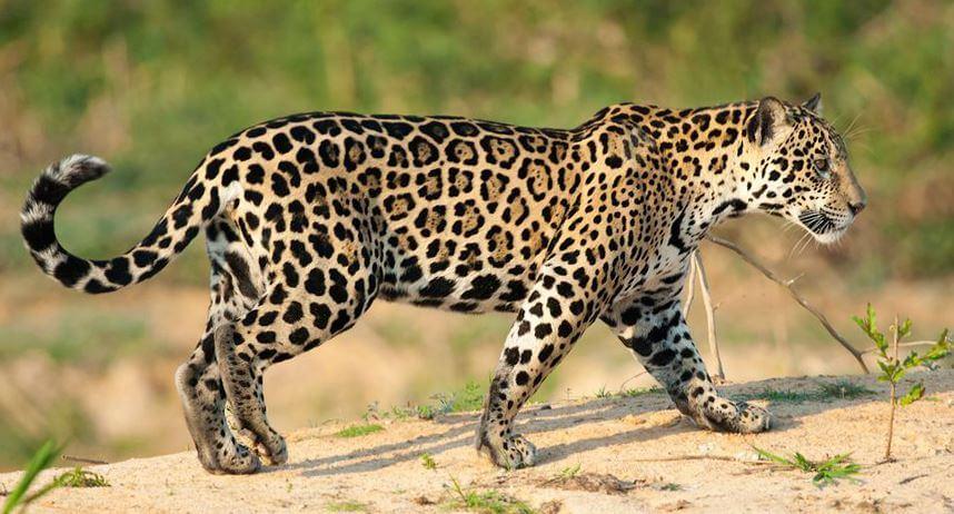 Картинка с ягуаром