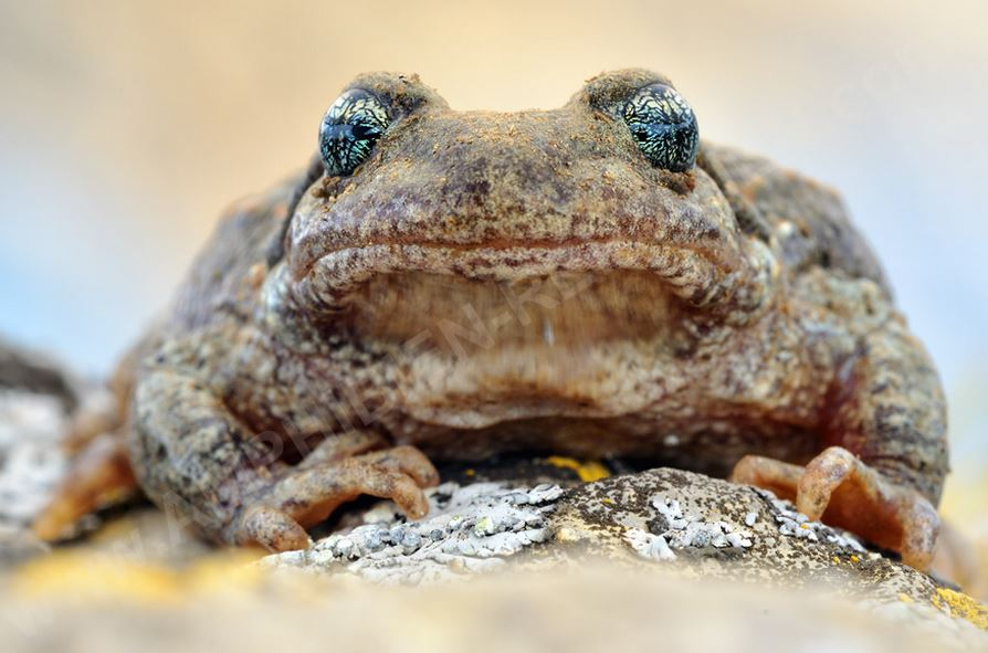 Виды жаб фото