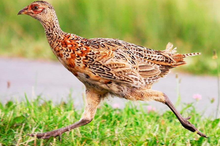 Бег фазана обыкновенного