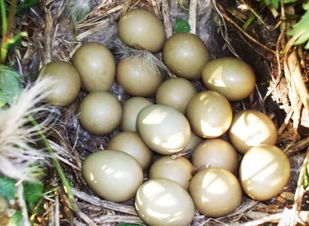 Гнездо фазана обыкновенного