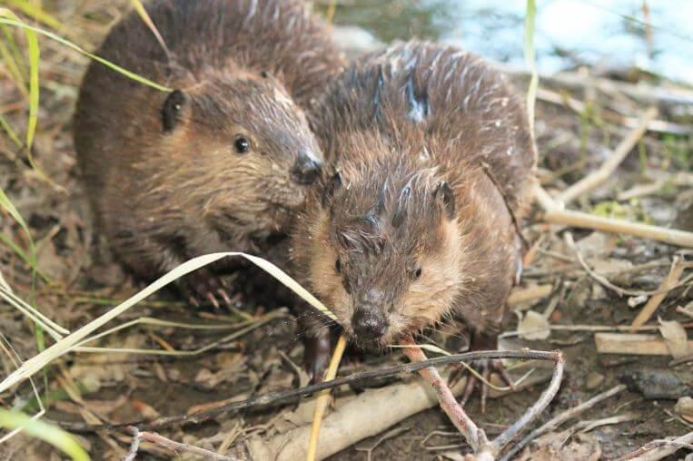 Малыши мускусной крысы