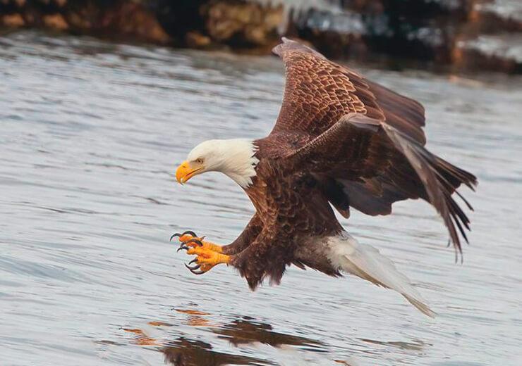 Охота орлана белоголового