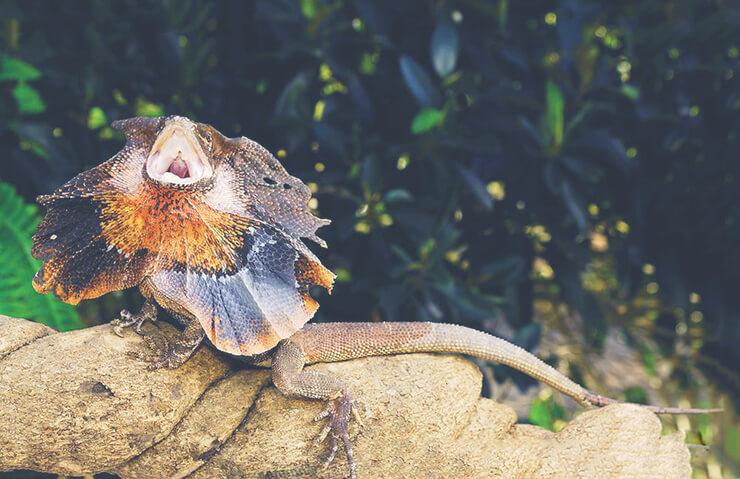 Фото ящерицы плащеносной