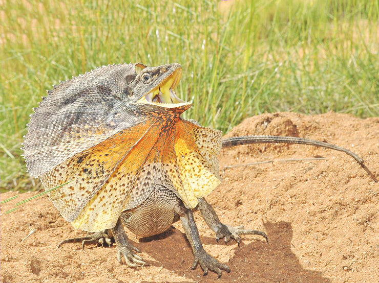 Фото Chlamydosaurus kingii
