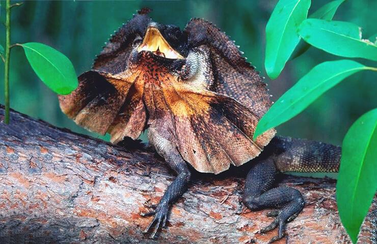 Картинка с ящерицей плащеносной