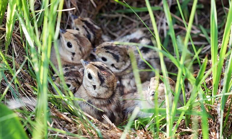 Птенца фазана обыкновенного