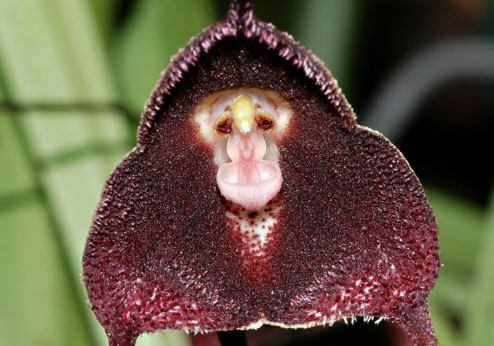 Забавная мордочка орхидеи дракула