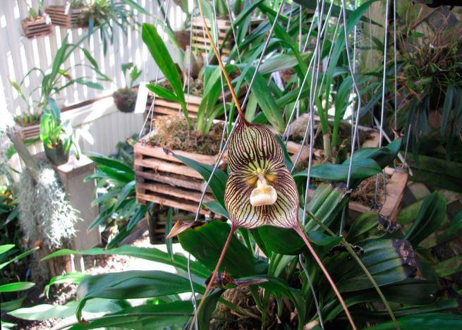 Уход за орхидеей дракула