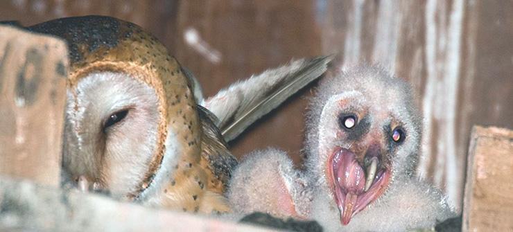 Гнездо сипухи обыкновенной