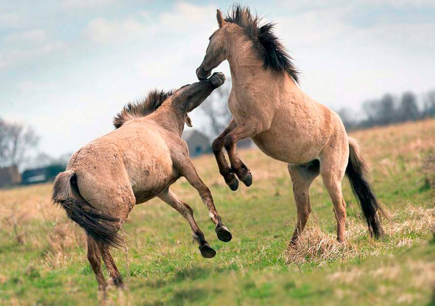 Бой коников польских