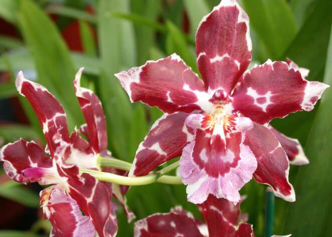 Одонтоглоссум цветёт