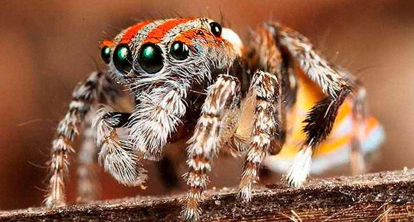 Паук-скакун обыкновенный фото