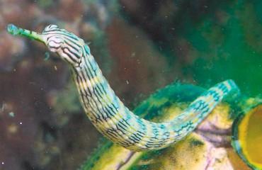 Змеевидная морская игла