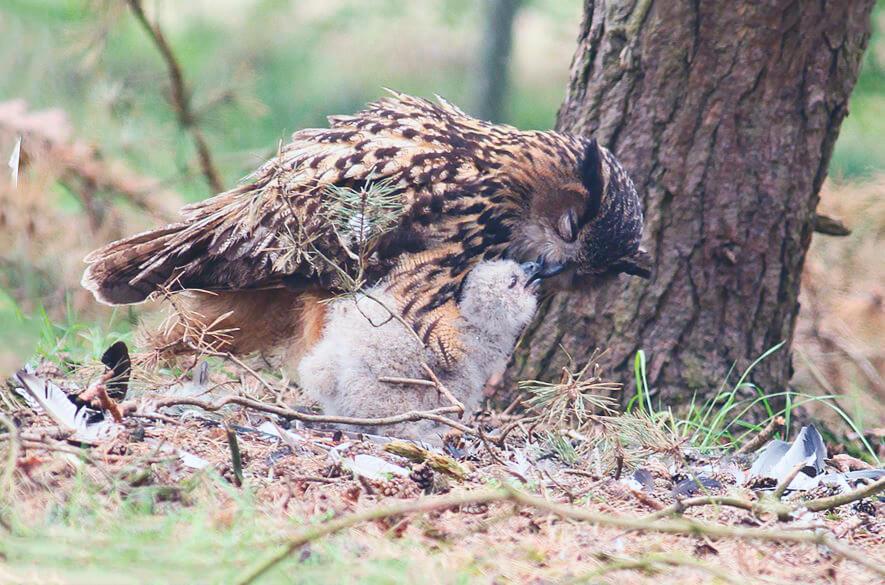 Кормление птенца филином обыкновенныйм