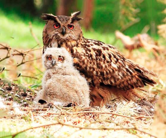 Птенец филина обыкновенного с родителем