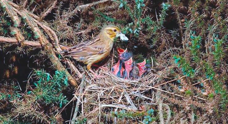 Гнездо овсянки обыкновенной
