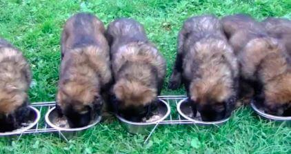 Кормление щенков леонбергера