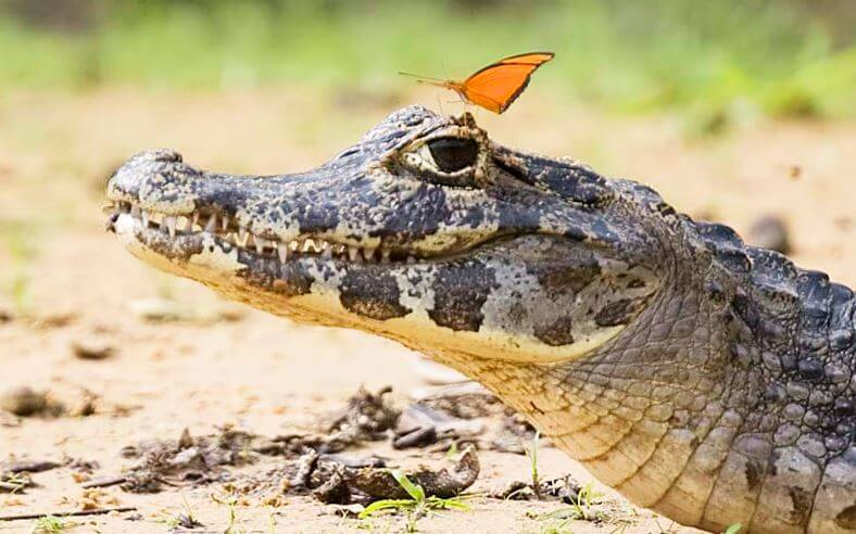 Самка Caiman crocodilus