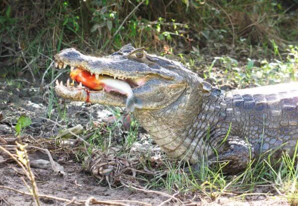 Caiman crocodilus