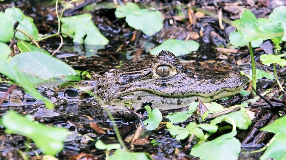 Внешний вид крокодилового каймана