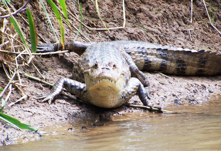 Крокодиловый кайман фото