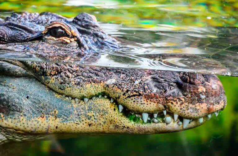Морда крокодилового каймана