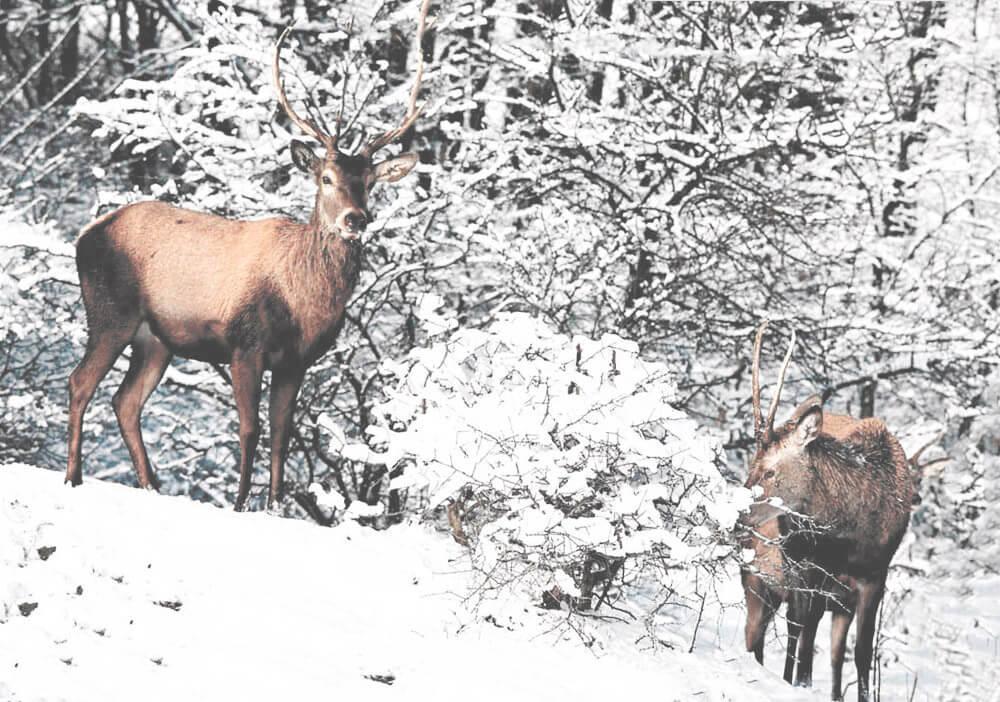 Олень благородный в зимнем лесу