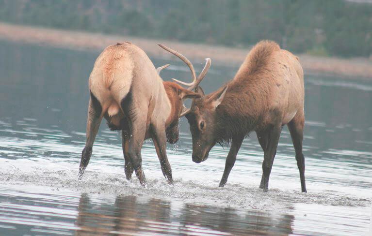 Встреча двух оленей благородных