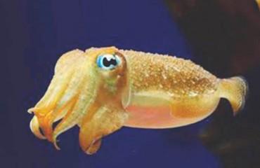Каракатица обыкновенная