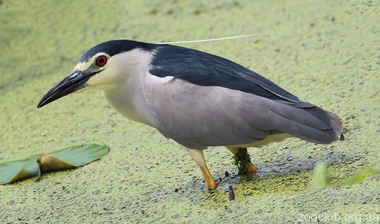 Кваква обыкновенная фото
