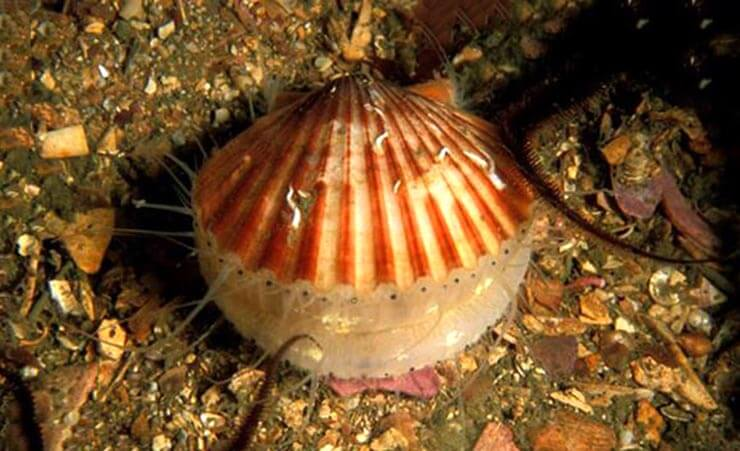 Морской гребешок фото