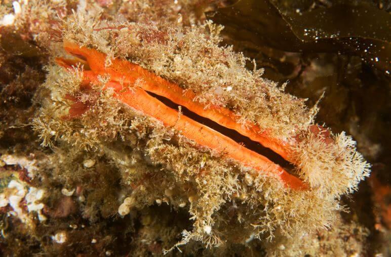 Морской гребешок в водорослях