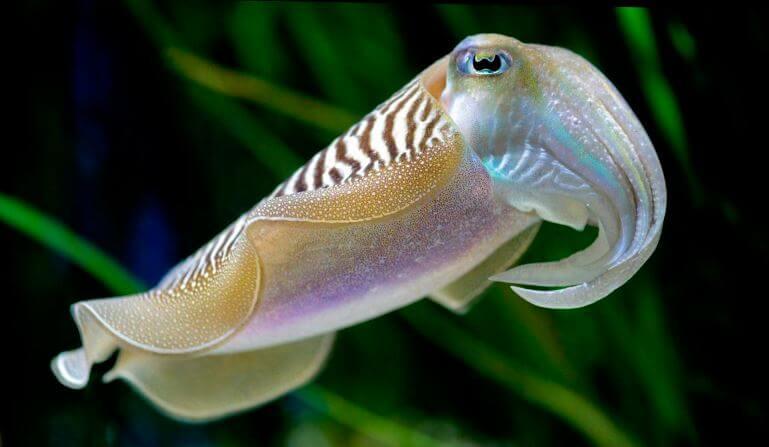 Каракатица обыкновенная в поиске пары