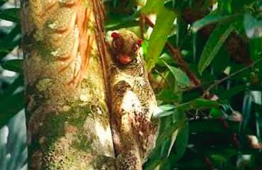 Шерстокрыл малайский