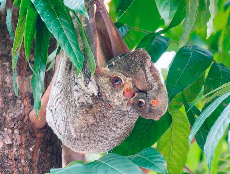 Путешествие шерстокрыла малайского по веткам