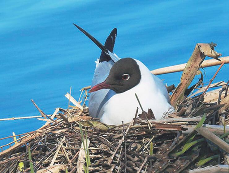 Гнездо чайки обыкновенной