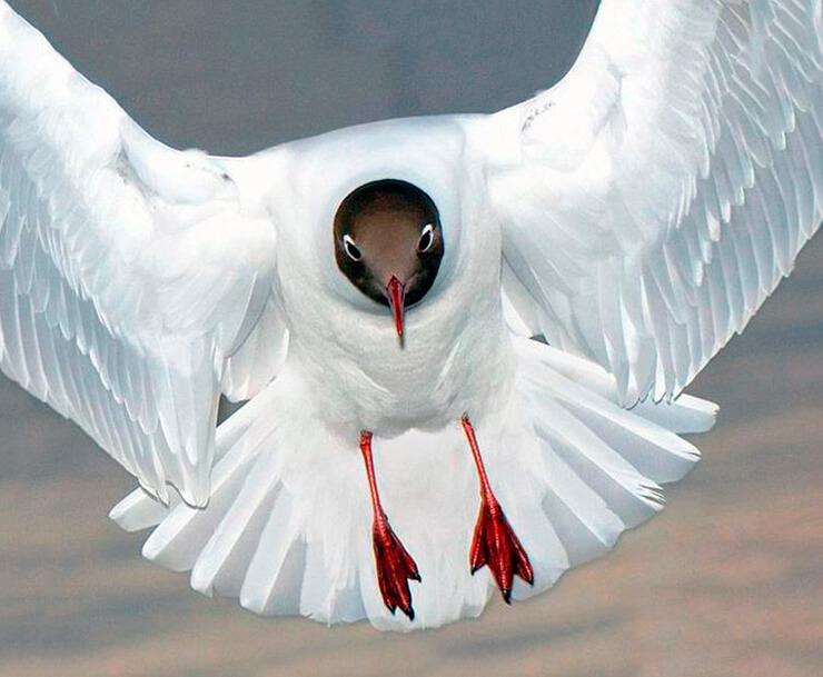 Чайка обыкновенная фото