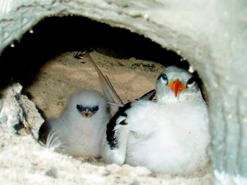 Гнездо фаэтона белохвостого