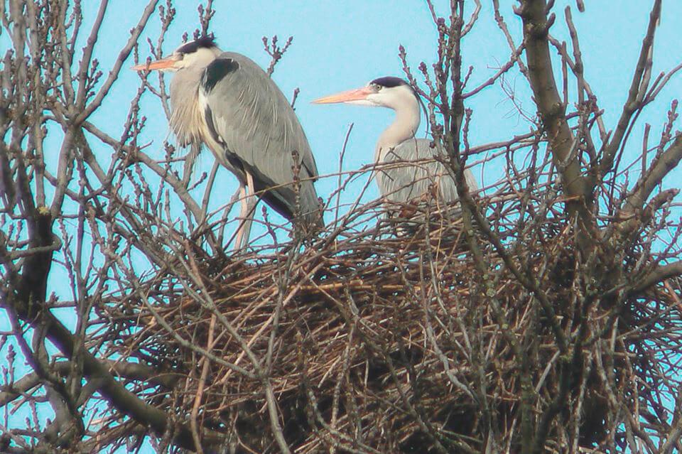Гнездо серых цапель