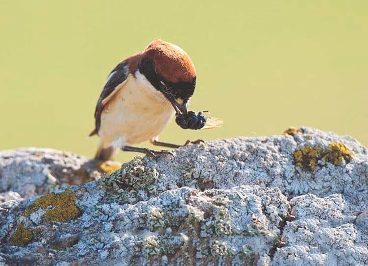 Добыча сорокопута красноголового
