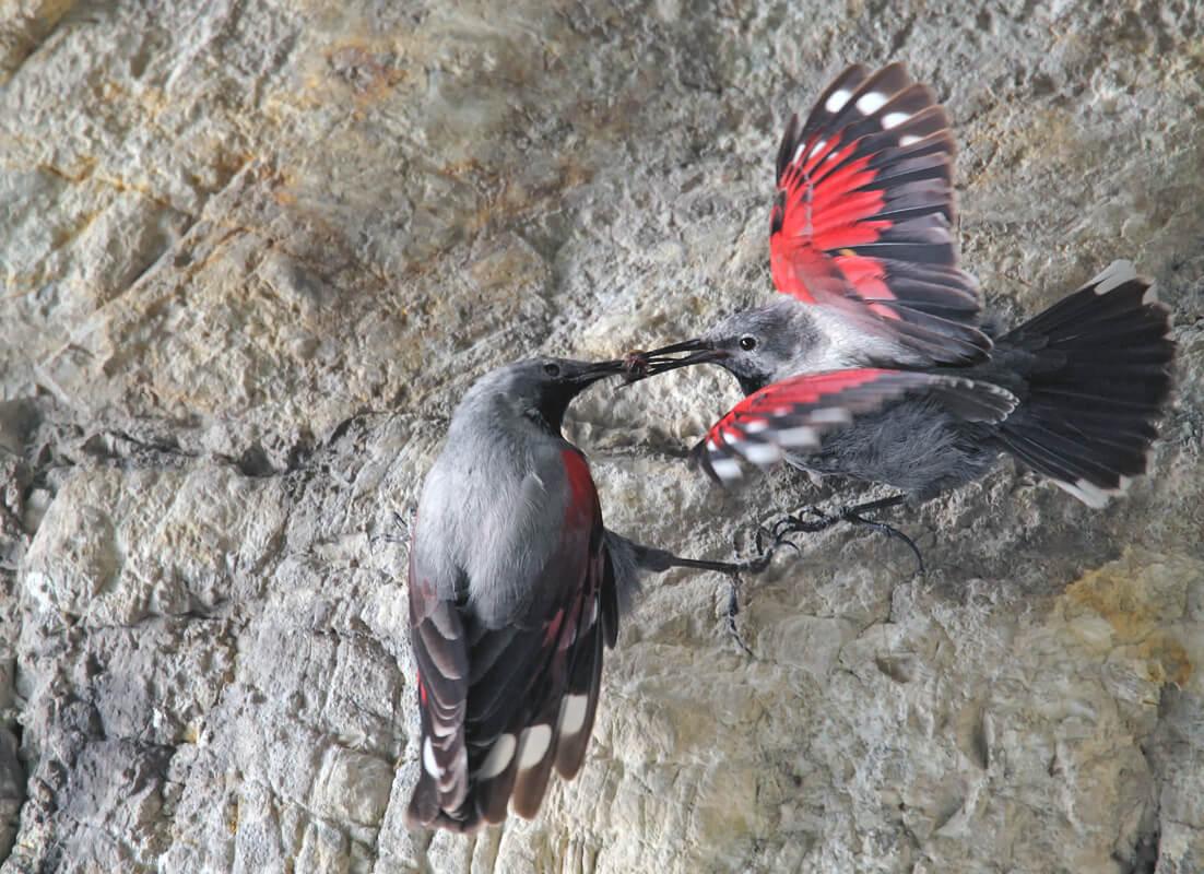 Птенец стенолаза краснокрылого получает корм