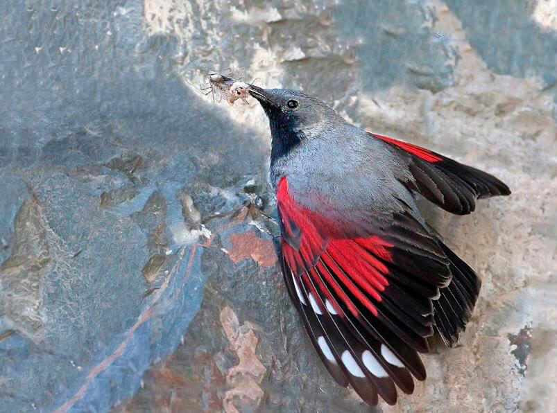 Стенолаз краснокрылый с насекомым