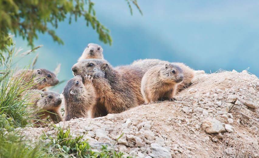 Дружелюбные сурки альпийские